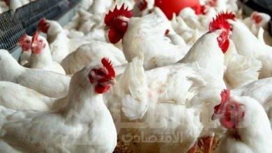 صورة شعبة الدواجن توضح السبب وراء تراجع الأسعار