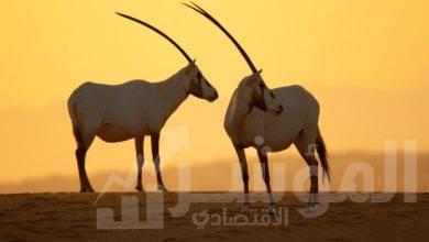 صورة محمية دبي الصحراوية تطلق تقريرها السنوي الأول