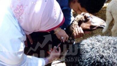صورة وزارة الزراعة تواصل السيطرة على مرض الحمى القلاعية و تمنع دخول مرض حمى الوادى المتصدع لمصر