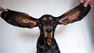 صورة تعرف إلى الكلب صاحب أطول أذنين بالعالم والذي حطم الرقم القياسي بموسوعة غينيس