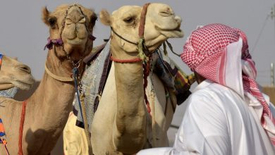 صورة السعودية.. القبض على وافد مصري امتهن اجراء عمليات تجميل للإبل لرفع سعرها
