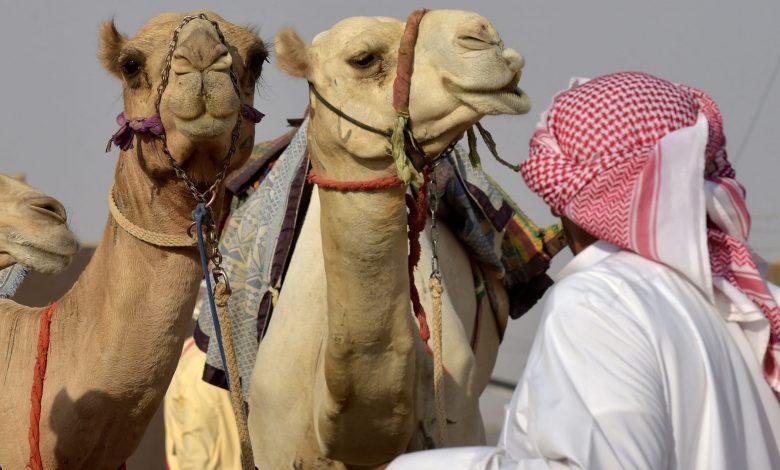 السعودية.-القبض-على-وافد-مصري-امتهن-اجراء-عمليات-تجميل-للإبل-لرفع-سعرها