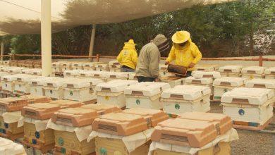 صورة هذه المزرعة في دبي تضم أكثر من 100 ألف ملكة نحل