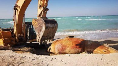 صورة حوت نافق على شاطئ شرق السعودية